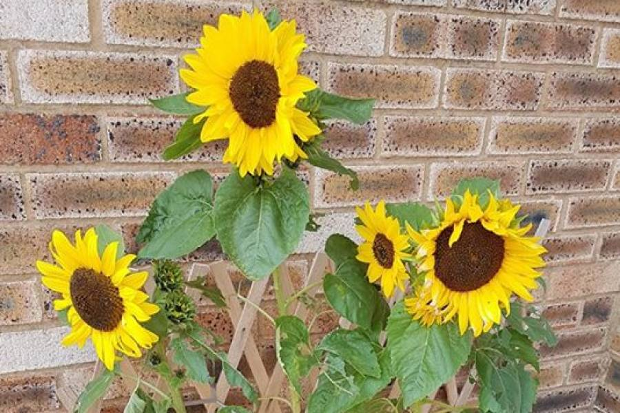 Anchor Foster Care Sunflower Competition Winner
